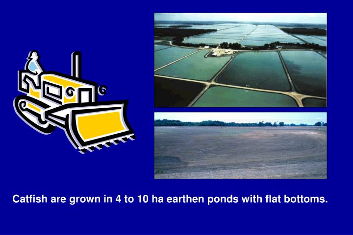 Catfish are grown in 4 to 10 ha earthen ponds with flat bottoms.