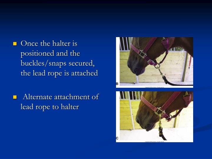 Once the halter is positioned and the buckles/snaps secured, the lead rope is attached