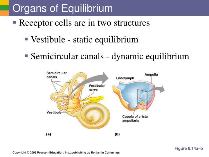 Organs of Equilibrium