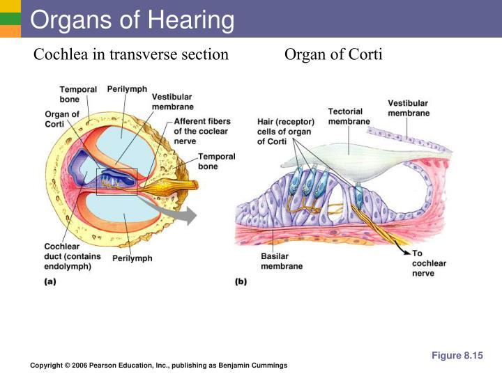 Organs of Hearing