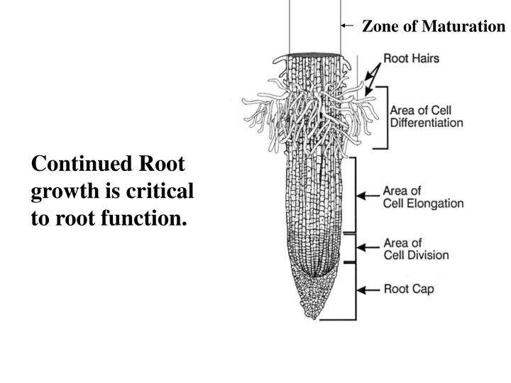 Zone of Maturation