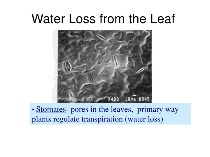 Water Loss from the Leaf