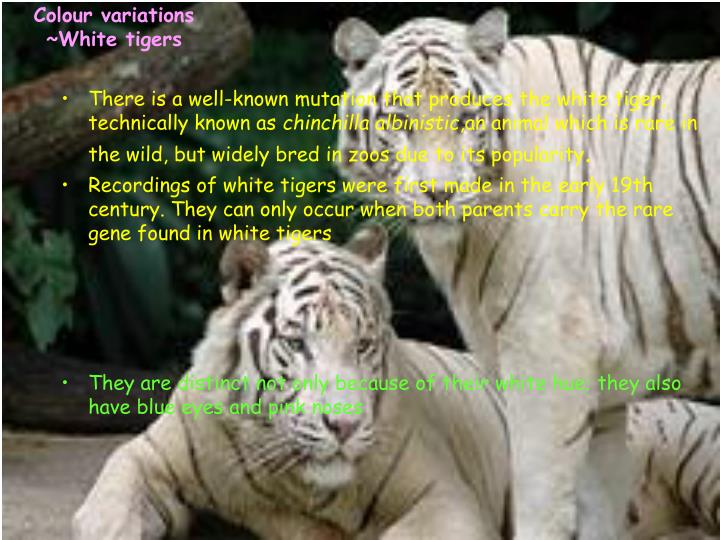 There is a well-known mutation that produces the white tiger, technically known as