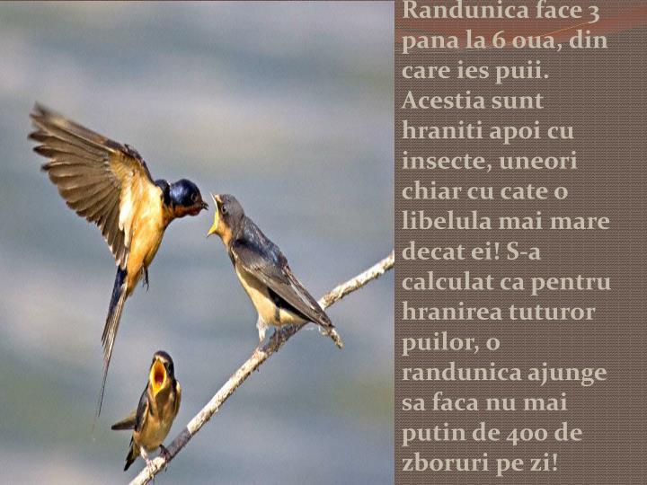 Randunica face 3 pana la 6 oua, din care ies puii. Acestia sunt hraniti apoi cu insecte, uneori chiar cu cate o libelula mai mare decat ei! S-a calculat ca pentru hranirea tuturor puilor, o randunica ajunge sa faca nu mai putin de 400 de zboruri pe zi!
