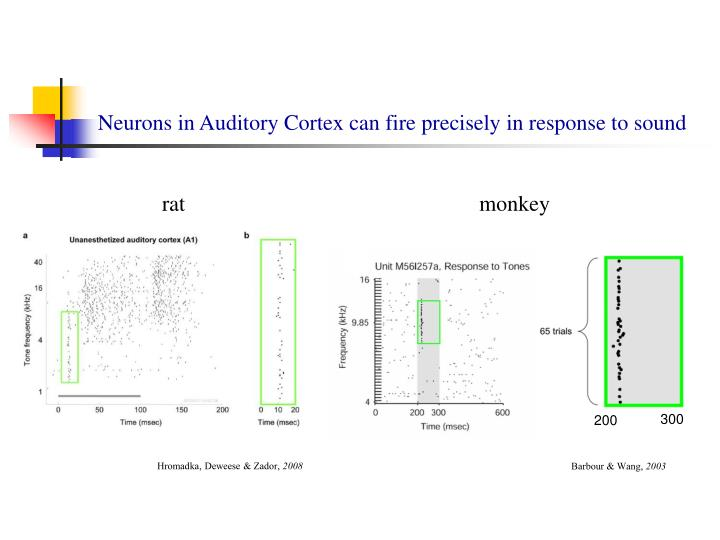 Neurons in auditory cortex can fire precisely in response to sound