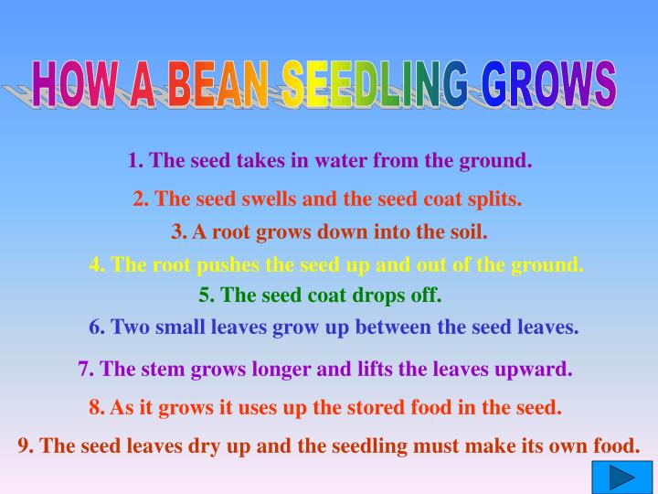 HOW A BEAN SEEDLING GROWS