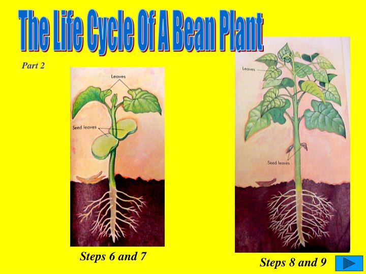 The Life Cycle Of A Bean Plant