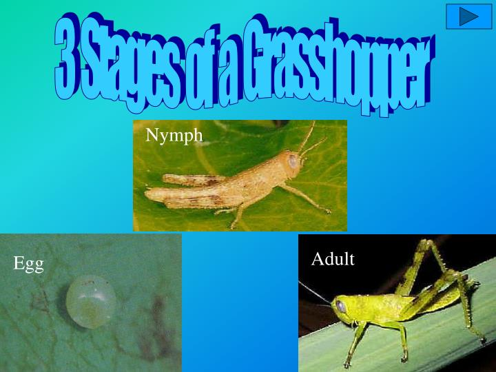 3  Stages  of  a  Grasshopper