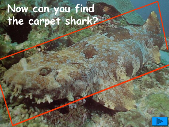 Now can you find the carpet shark?