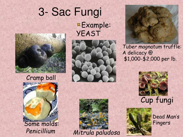 Ppt The Fungi Kingdom Powerpoint Presentation Id5339754