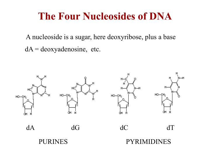 Ppt blueprint of life powerpoint presentation id5341173 the four nucleosides of dna malvernweather Images