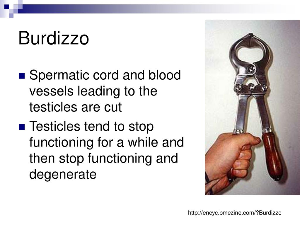 PPT - Castration of Cattle PowerPoint Presentation - ID:5343474
