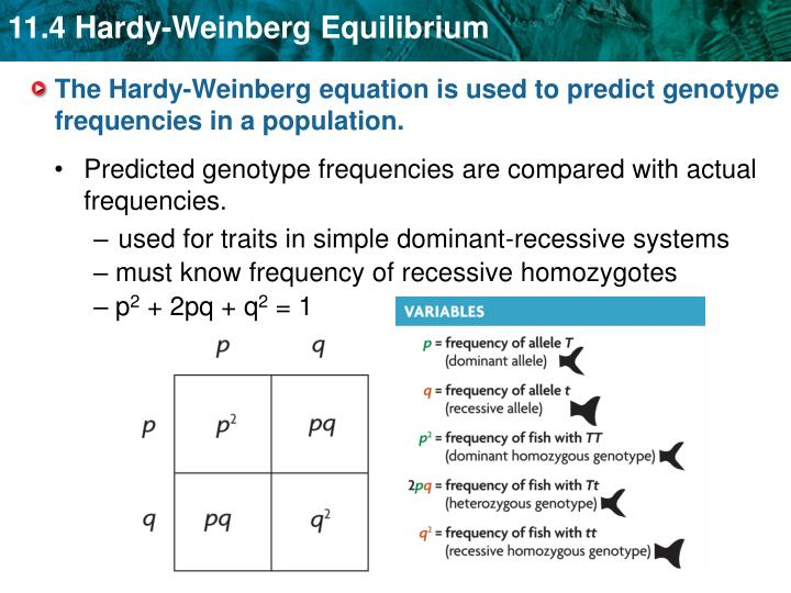 """""""The Hardy-Weinberg equation is based on Mendelian genetics. It is derived from a simple Punnett square in which p is the frequency of the dominant allele and q is the frequency of the recessive allele."""""""