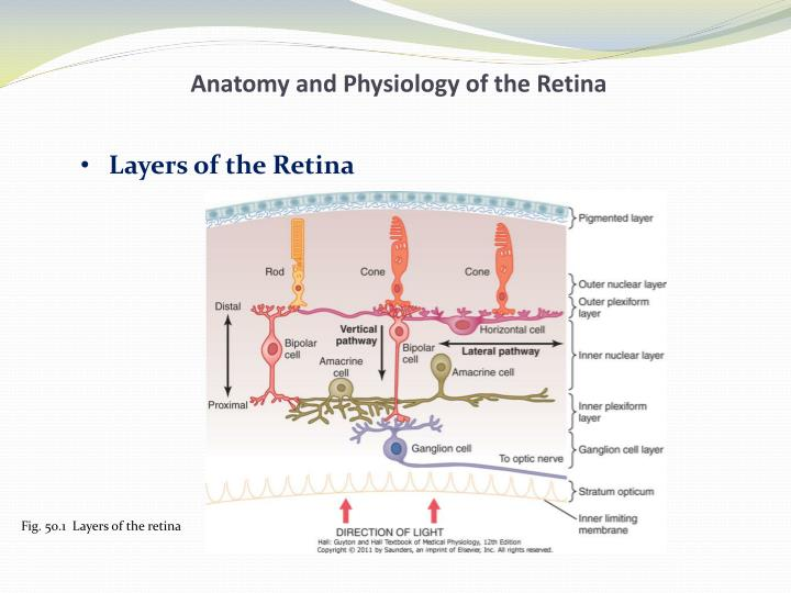Anatomy and physiology of the retina1