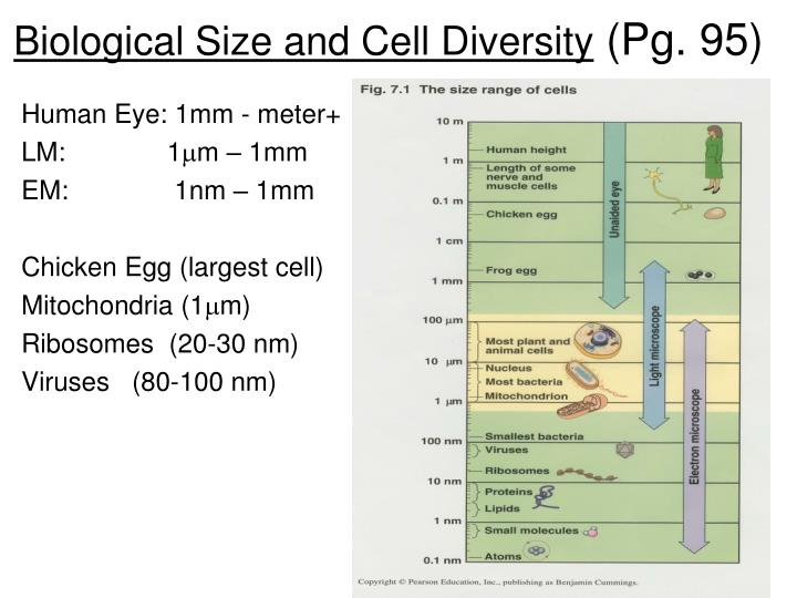 Biological Size and Cell Diversity