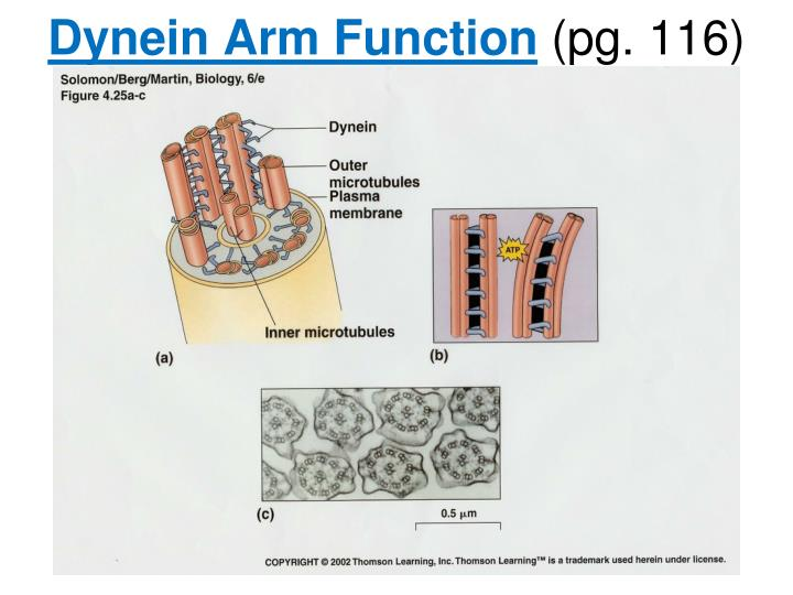 Dynein Arm Function