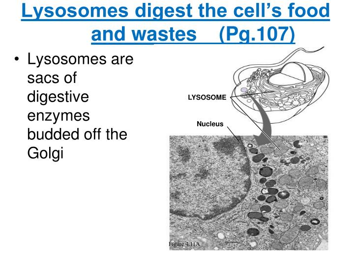 Lysosomes digest the cell's food and wastes    (Pg.107)