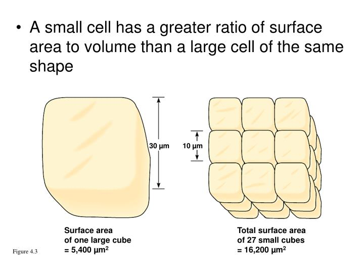 A small cell has a greater ratio of surface area to volume than a large cell of the same shape
