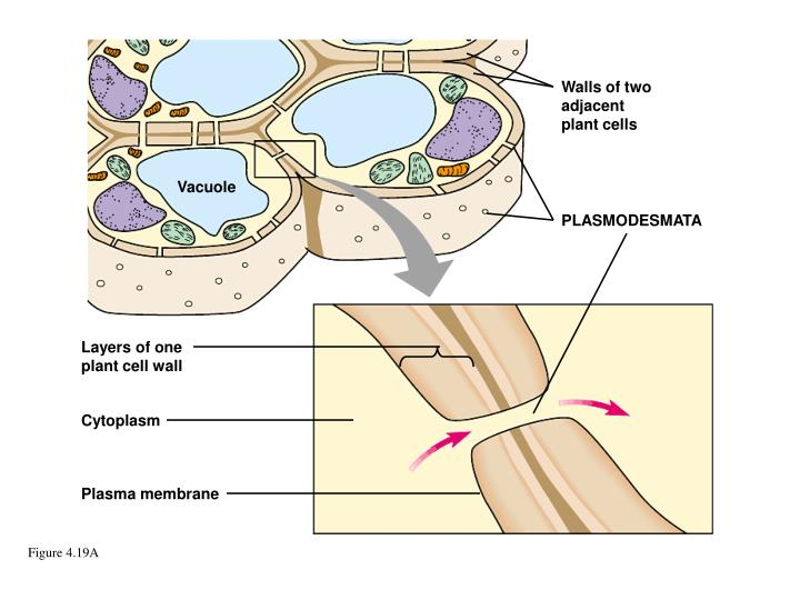 Walls of two adjacent plant cells