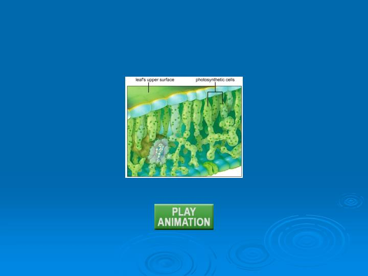 Animation: Sites of photosynthesis
