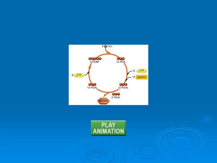 Animation: Calvin-Benson cycle