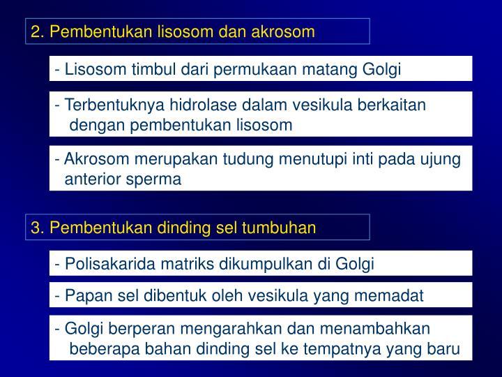 2. Pembentukan lisosom dan akrosom
