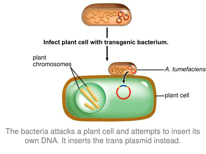 Infect plant cell with transgenic bacterium.