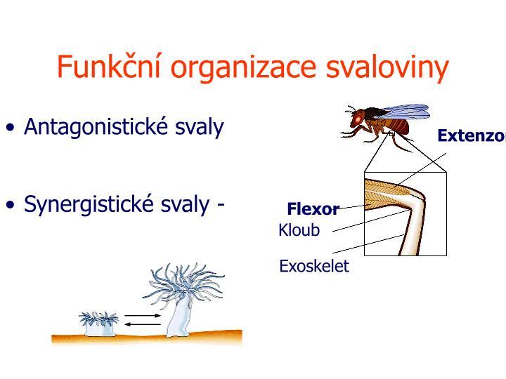 Funkční organizace svaloviny