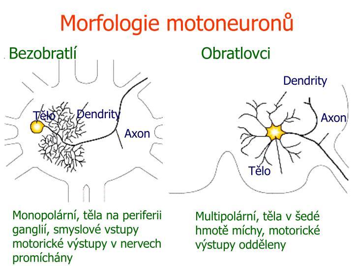 Morfologie motoneuronů