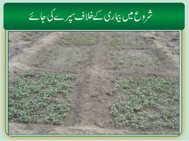 Nursery/fungicide