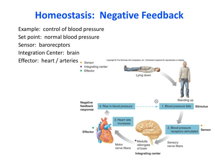 negative feedback homeostasis Maintaining this relatively constant internal environment is called homeostasis if one of these variables goes above or below its set point the body works to bring it back to its desired state the process used to describe this response to restore the body to its stable level is called a negative feedback loop.