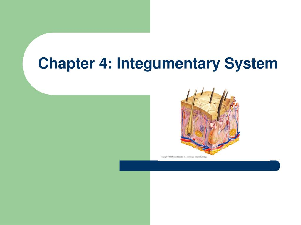 Ppt Chapter 4 Integumentary System Powerpoint Presentation Id