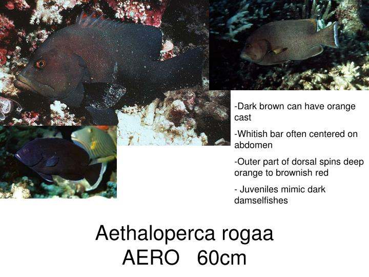 Aethaloperca rogaa
