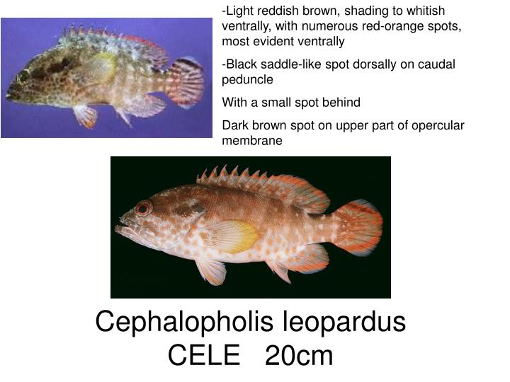 Light reddish brown, shading to whitish ventrally, with numerous red-orange spots, most evident ventrally