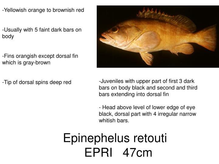 Yellowish orange to brownish red