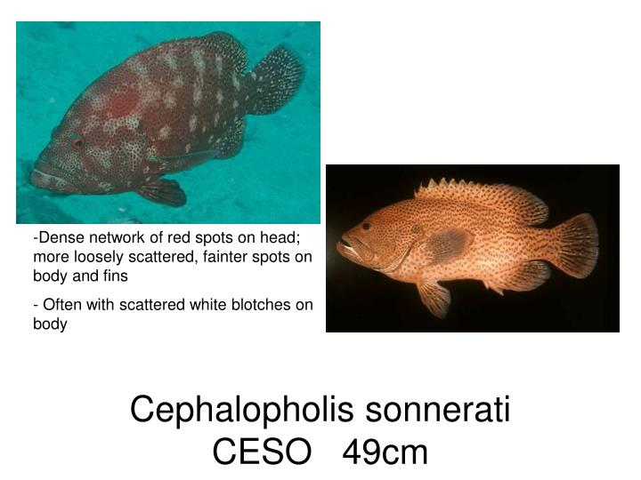 Dense network of red spots on head; more loosely scattered, fainter spots on body and fins