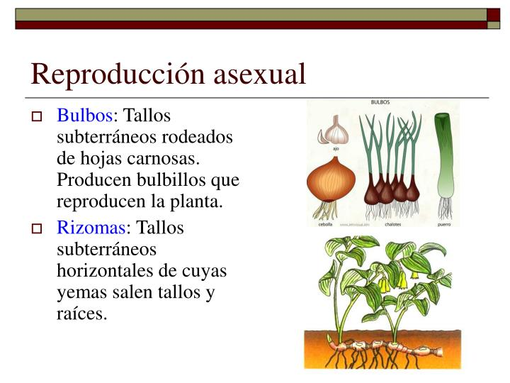 Rizomas reproduccion asexual plantas carnivoras
