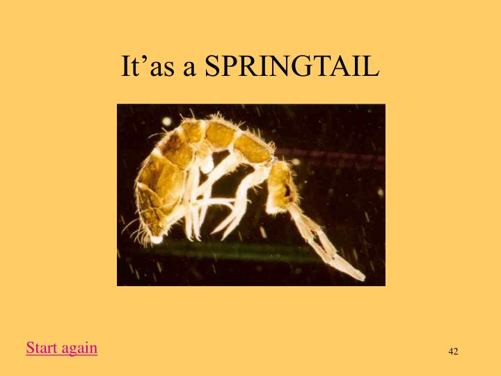It'as a SPRINGTAIL