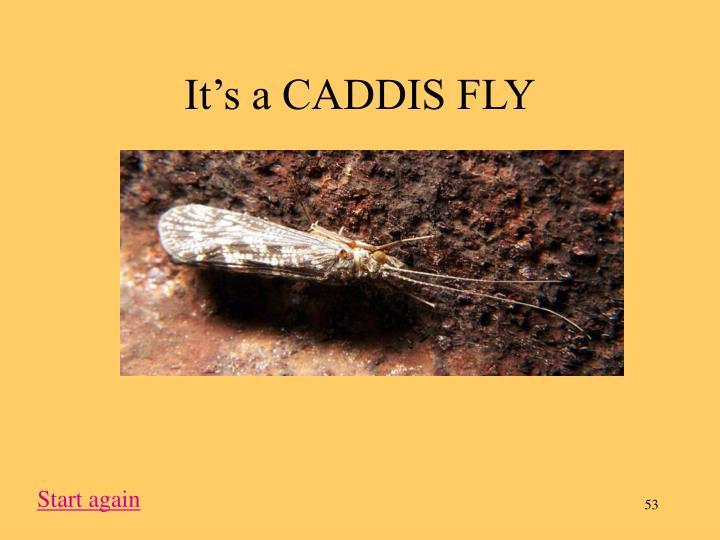 It's a CADDIS FLY