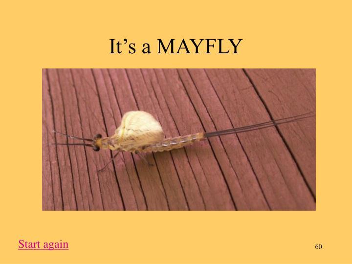 It's a MAYFLY