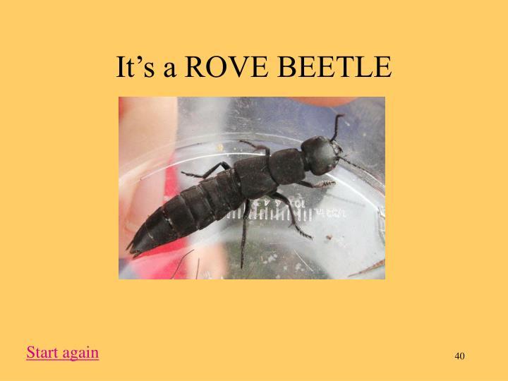 It's a ROVE BEETLE