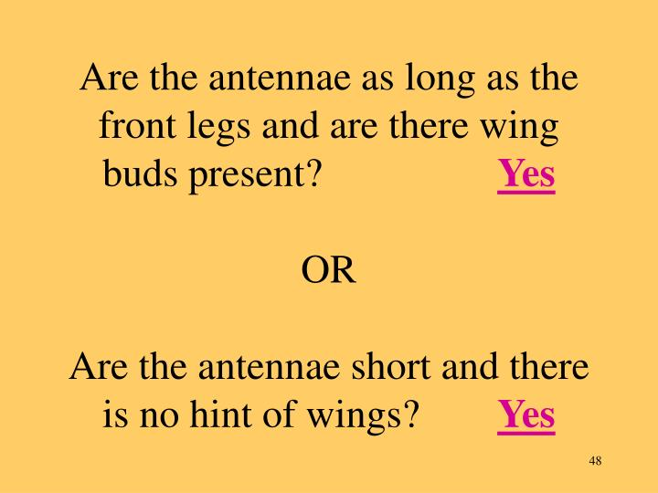 Are the antennae as long as the front legs and are there wing buds present?