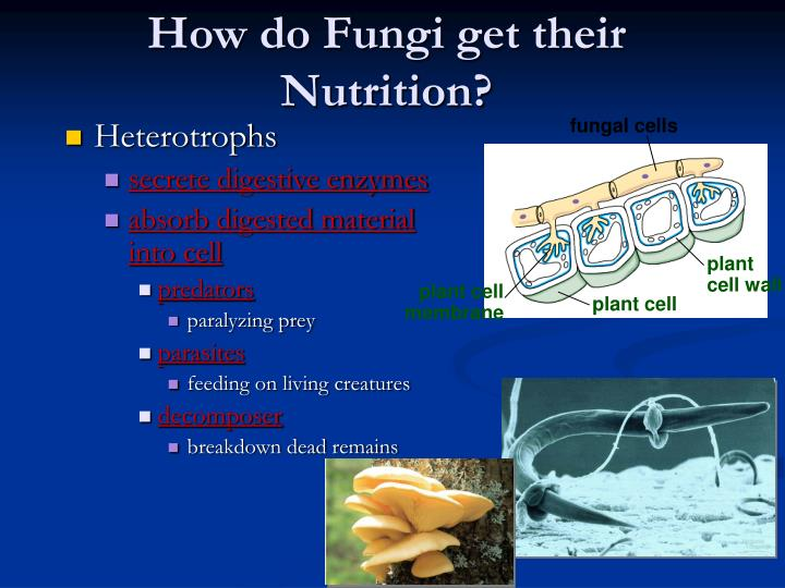 How Do The Digested Food Get Into The Fungi