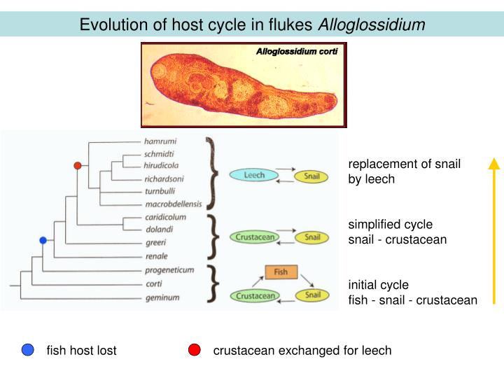 Evolution of host cycle in flukes