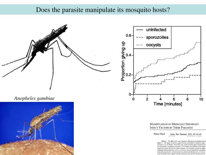 Does the parasite manipulate its mosquito hosts?
