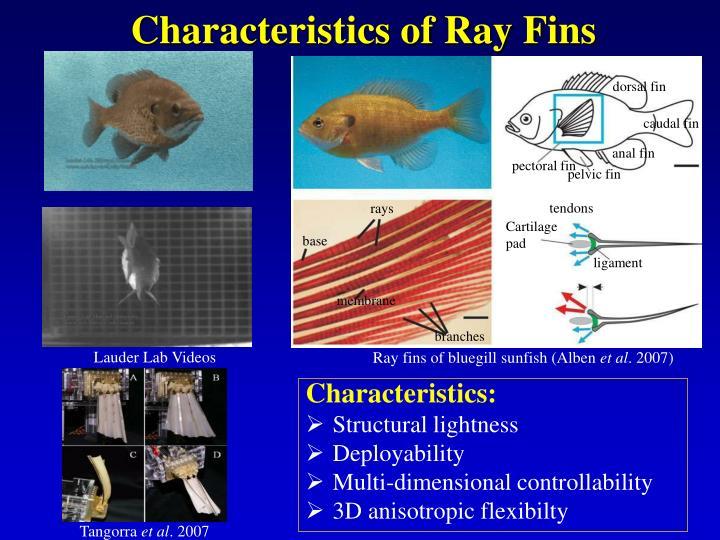 Characteristics of ray fins