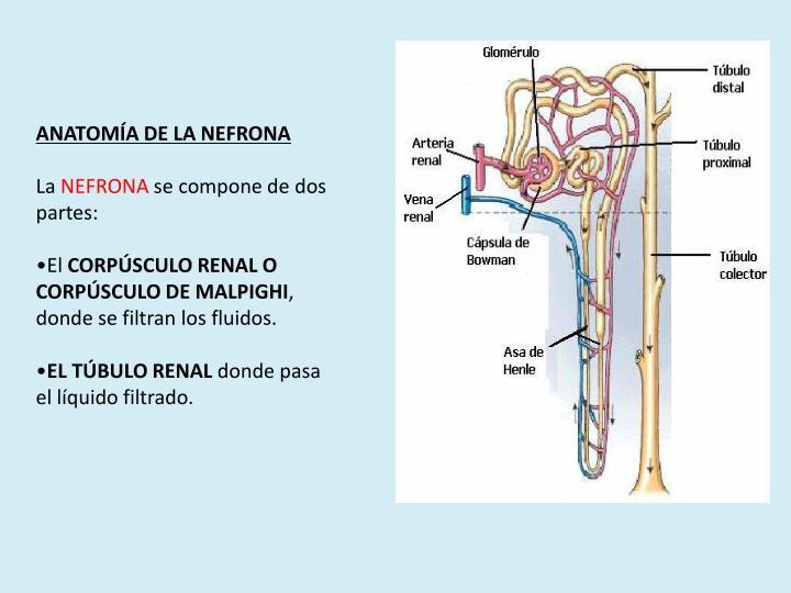 ANATOMÍA DE LA NEFRONA