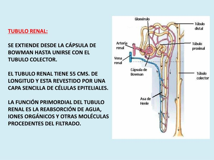 TUBULO RENAL: