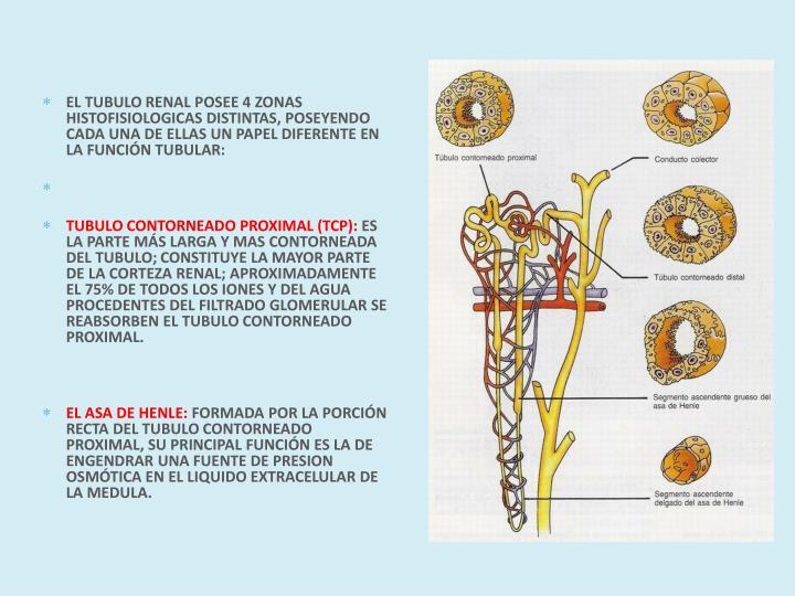 EL TUBULO RENAL POSEE 4 ZONAS HISTOFISIOLOGICAS DISTINTAS, POSEYENDO CADA UNA DE ELLAS UN PAPEL DIFERENTE EN LA FUNCIÓN TUBULAR: