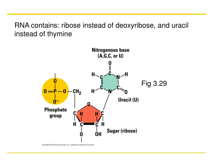 RNA contains: ribose instead of deoxyribose, and uracil instead of thymine